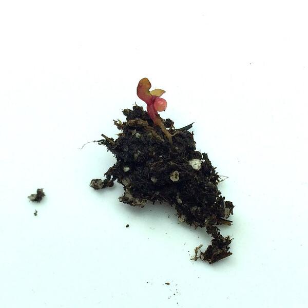 ulluco-seedling-12hr.jpg