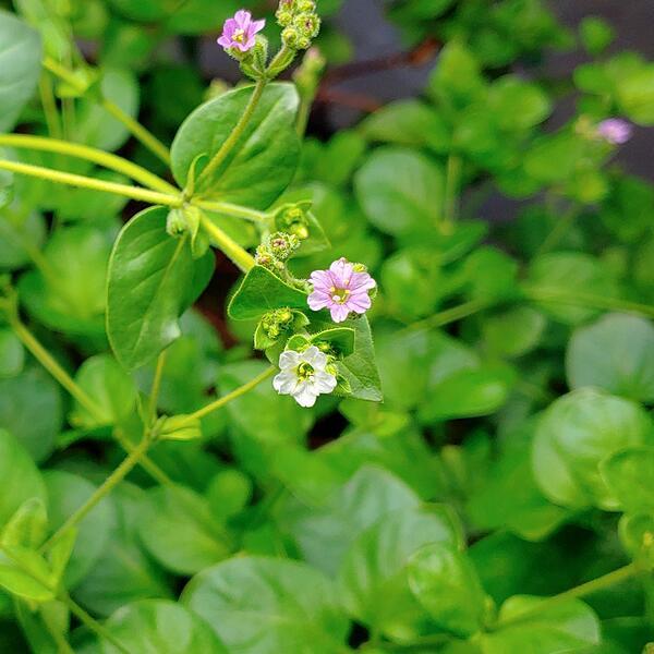 mauka-flowers