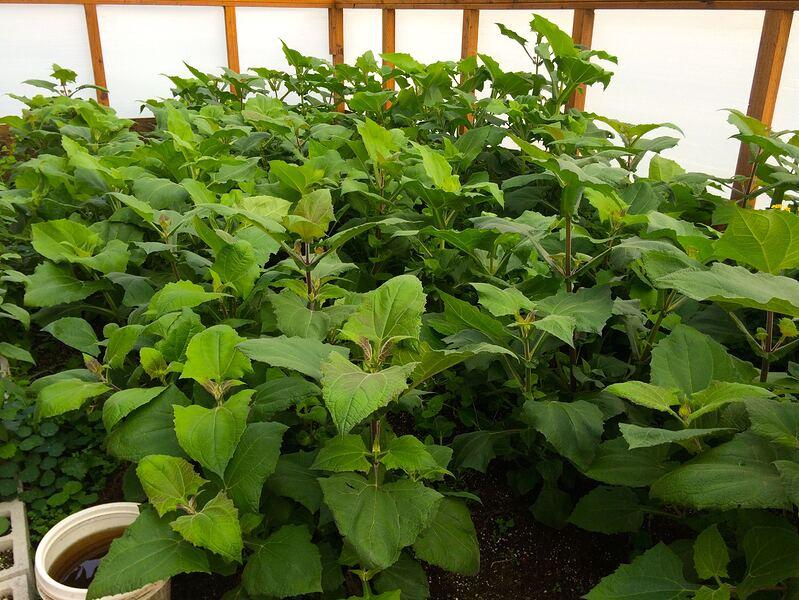 yacon-greenhouse.jpg