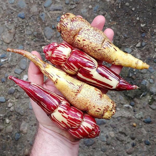 mashua-Candy_Cane-and-Puca_Anu-tubers-hand