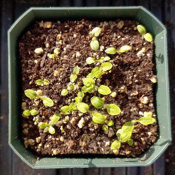 potato-tumiri-seedlings